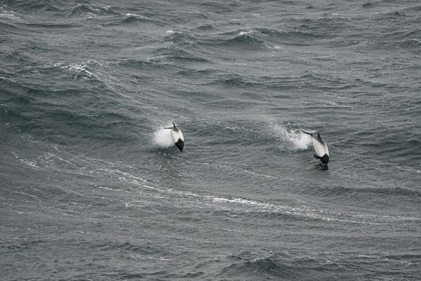 Commerson's dolfijn - Commersons's dolphin - Cephalorhynchus commersonii