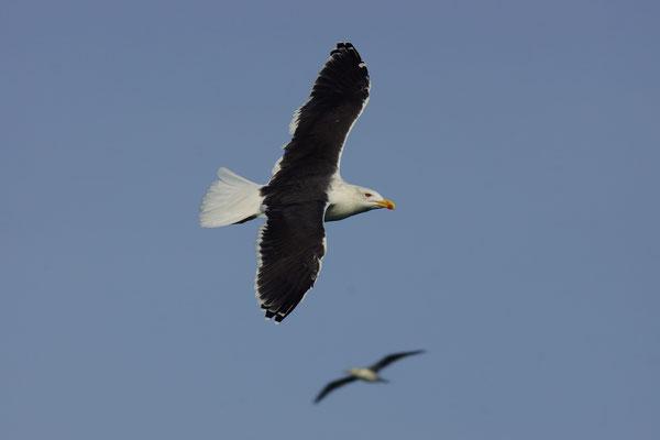 Grote mantelmeeuw (Larus marinus) - Noordzee, België