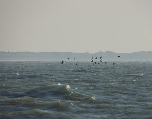 Zwarte zee-eenden (Melanitta nigra) - Common scoters - Noordzee