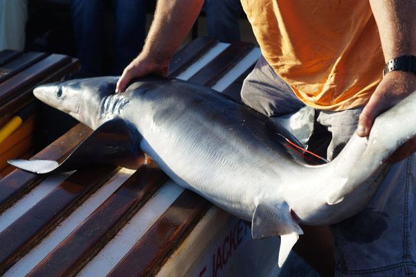 Tijdens de boottochten werden ook Blauwe haaien (Prionace glauca) gevangen en getagged! Indrukwekkend dier!