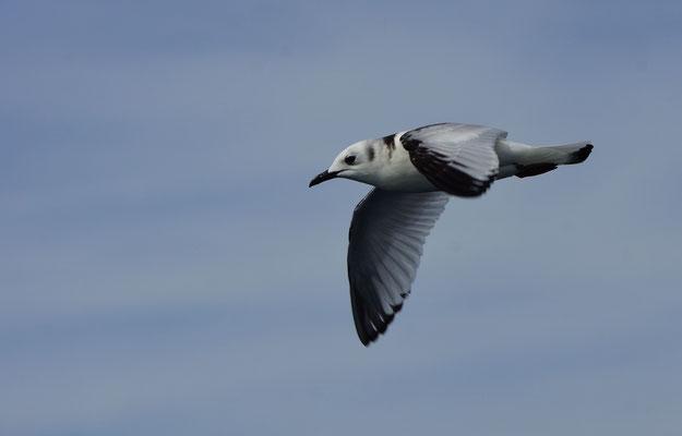 Drieteenmeeuw (Rissa tridactyla), 2de kalenderjaar. Deze algemene zeevogel zagen we maar 1 keer!