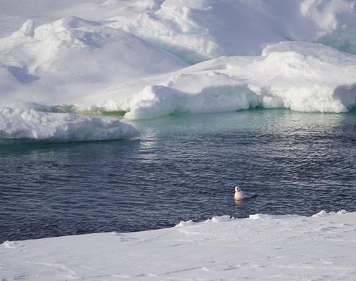 En dan de topper: Ross' meeuw - Ross' gull (Rhodostethia rosea). Erg zeldzaam op het pakijs, en de eerste maal gespot op alle Spitsbergen-reizen.