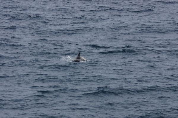 Witsnuitdolfijn (Lagenorhynchus albirostris) - White beaked dolphin