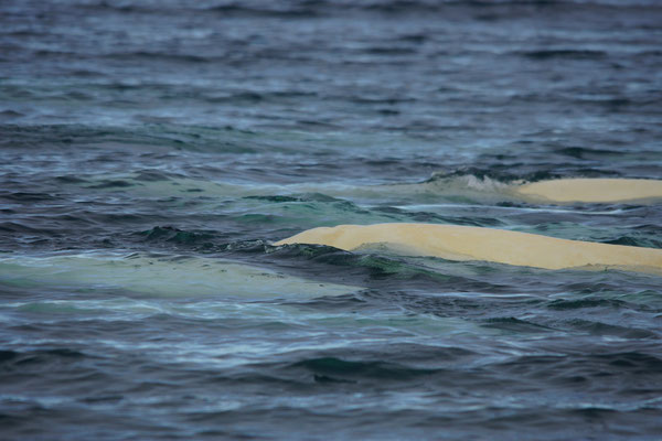 Beloega (Delphinapterus leucas) - Beluga whale