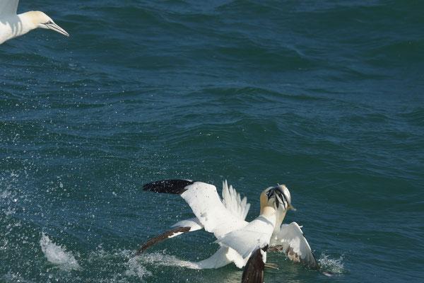 Jan-van-gent (Morus bassanus) - Northern gannet - Noordzee