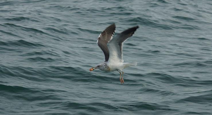 Kleine mantelmeeuw (Larus fuscus) - Noordzee, België