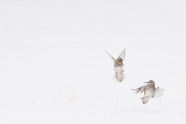 Paarse strandlopers-mannetjes bepalen het territorium
