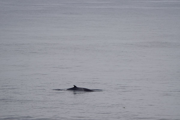 Dwergvinvis - Minke whale (Balaentoptera acutorostrata).