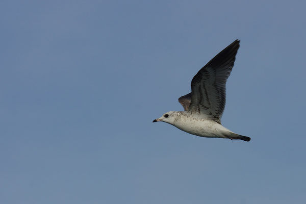 Stormmeeuw (Larus canus) - Noordzee, België