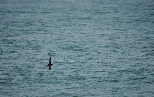 Grauwe pijlstormvogel (Puffinus griseus) - Noordzee, België