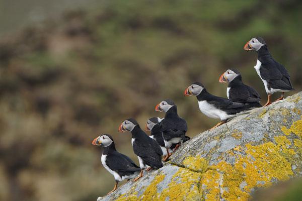 Papegaaiduiker - Atlantic puffin (Fratercula arctica)