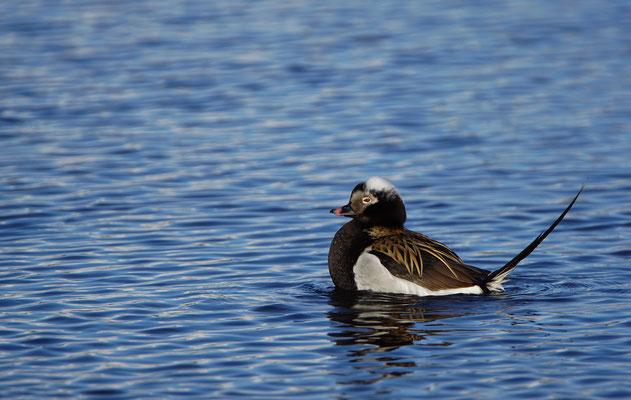 IJseend - Long-tailed duck (Clangula hyemalis)