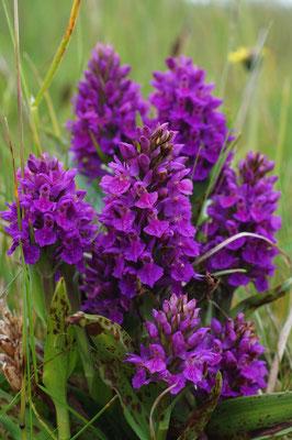 Northern Marsh Orchid (Dactylorhiza purpurella var. purpurella)