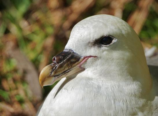 Noordse stormvogel - Northern fulmar (Fulmarus glacialis)