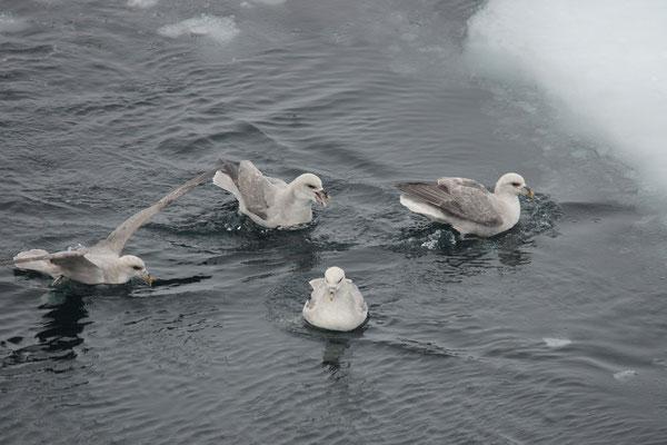 Noordse stormvogels (Fulmarus glacialis) vliegen langs
