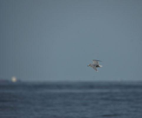 Dwergmeeuw (Hydrocoloeus minutus) - Noordzee, België