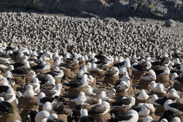Wenkbrauwalbatros - Black-browed albatross - Thalassarche melanophris op de kolonie van Steeple Jason. Deze kolonie bevat 70% van de wereldpopulatie.