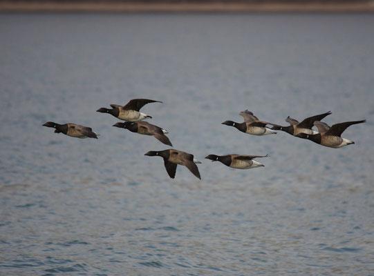 Witbuikrotgans (Branta hrota) - White bellied brent goose