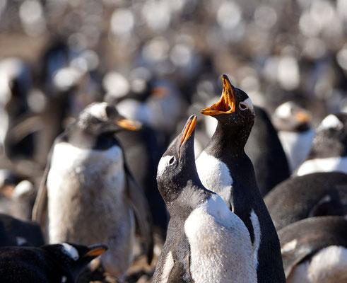 Ezelspinguin - Gentoo penguin - Pygoscelis papua