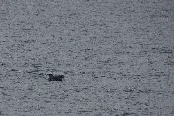 Witsnuitdolfijn (Lagenorhynchus albirostris) - Noordzee