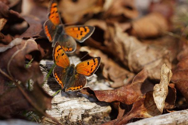 Kleine vuurvlinder (Lycaena phlaeas) - Platwijers België