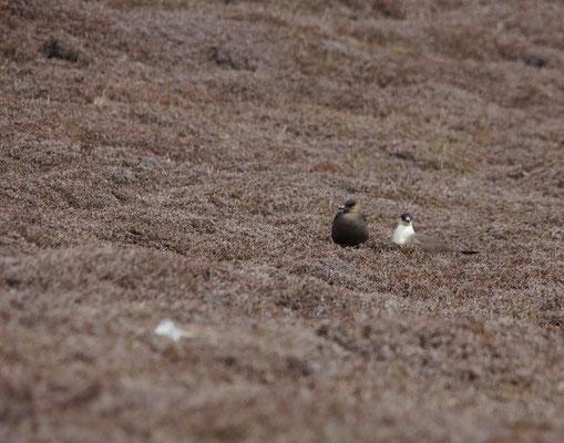 Kleine jager (Stercorarius parasiticus) man & vrouw