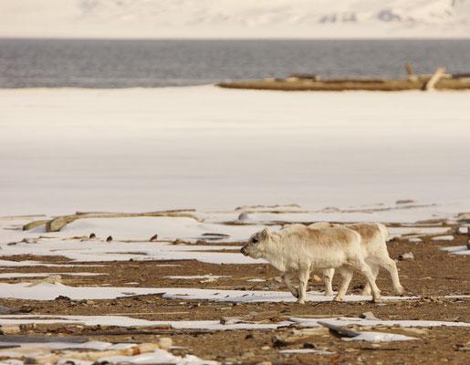 Spitsbergenrendier - Svalbard reindeer (Rangifer tarandus platyrhynchus). Lokale ondersoort met kortere poten.