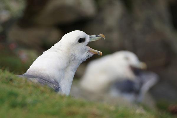 Noordse stormvogels - Northern fulmars (Fulmarus glacialis)