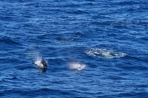Dolfijn van Peale - Peale's dolphin - Lagenorhynchus australis