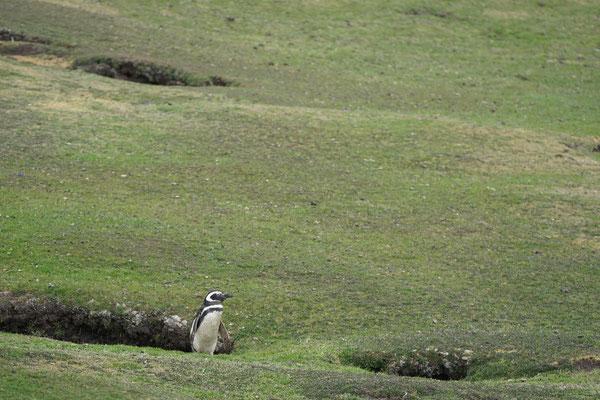 Magelhaenpinguin - Maggelanic penguin - Spheniscus magellanicus