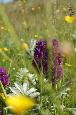 Dactylorhiza purpurella, North Marsh orchid, komt enkel voor in UK, Ierland & Denemarken