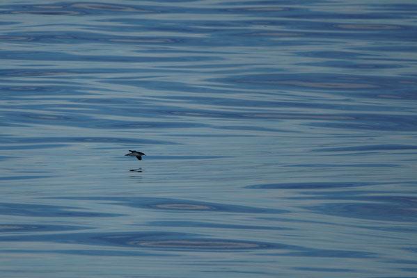 Broedvogel van de eilanden is deze Noordse pijlstormvogel (Puffinus puffinus).