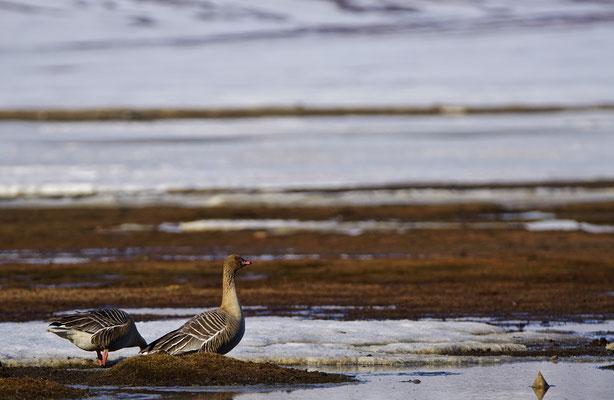 Kleine rietgans - Bean goose (Anser serrirostris)