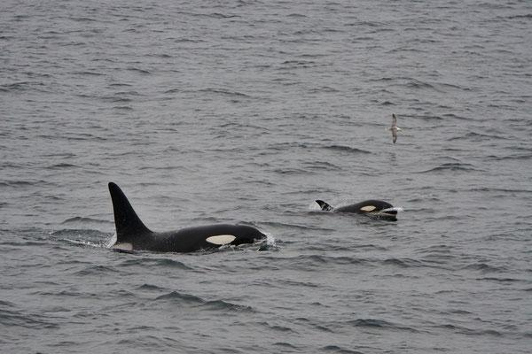 Orka - Killer whale (Orcinus orca). We zagen 2 mooie groepen dichtbij.
