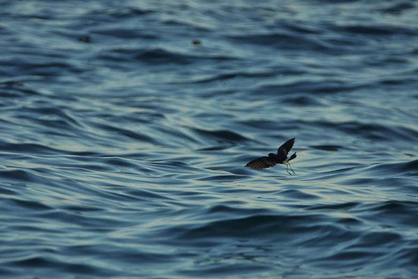En nog een Wilson's stormvogeltje (Oceanites oceanicus)