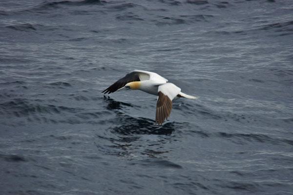 Jan-van-gent (Morus bassanus) - Northern gannet