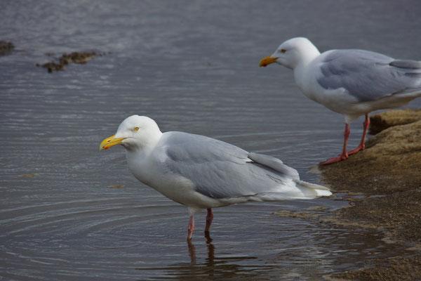 Grote burgemeester (Larus hyperboreus) - Glaucous gull