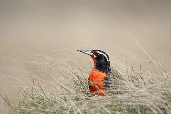 Grote weidespreeuw - Long-tailed meadowlark - Leistes loyca