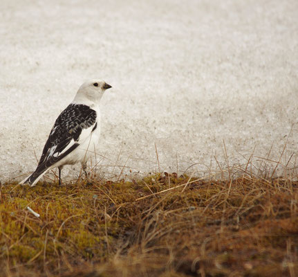 Sneeuwgors (Plectrophenax nivalis) - Snow bunting