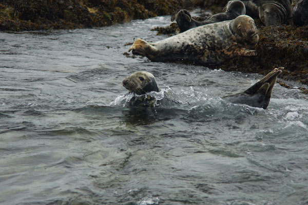 Grijze zeehond (Halichoerus grypus)
