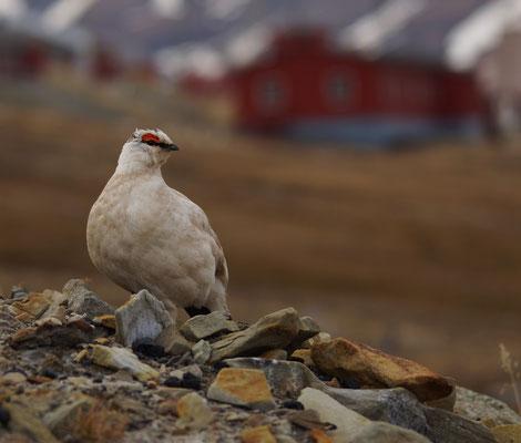 Spitsbergensneeuwhoen (Lagopus muta hyperborea) - Svalbard rock ptarmigan