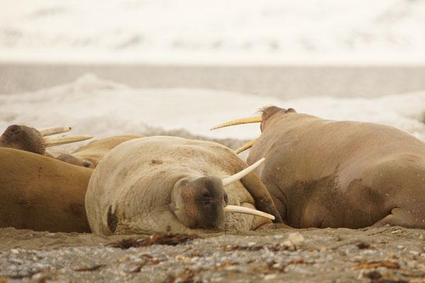 Walrus (Odobenus rosmarus) op Poolepynten