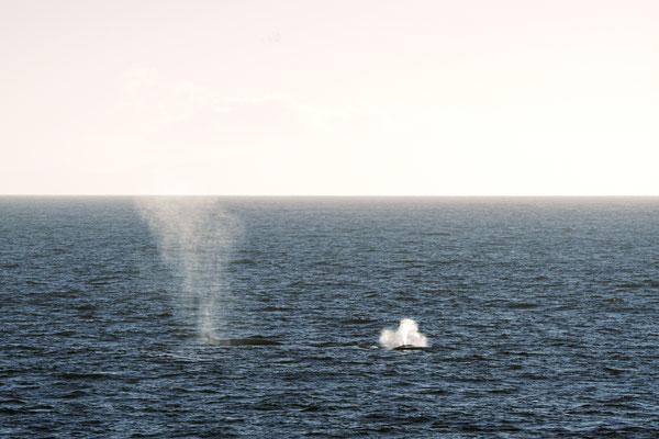 Noordse vinvis - Sei whale - Balaenoptera borealis nabij de Falklands