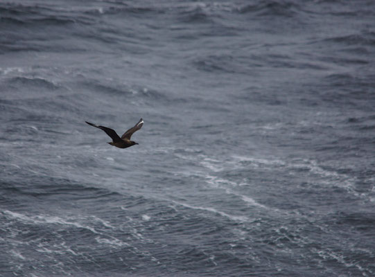 Middelste jager (Stercorius pomarinus) - Pomarine skua
