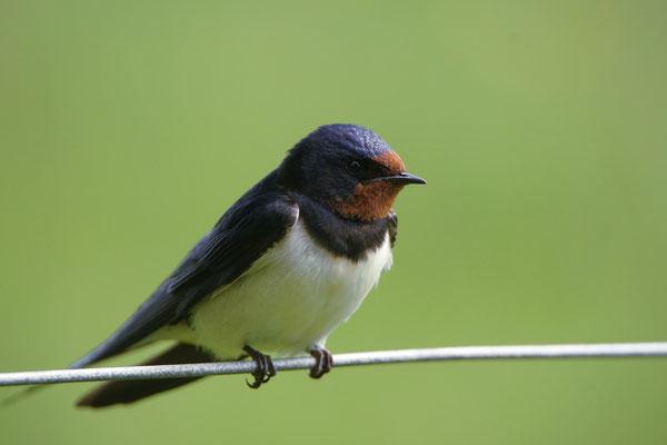 Boerenzwaluw - Barn swallow (Hirundo rustica)
