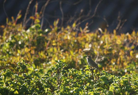 Sprinkhaanzanger (Locustella naevia) - Common grasshopper warbler - Raversijde België