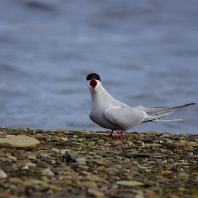Noordse stern (Sterna paradisea) - Arctic tern