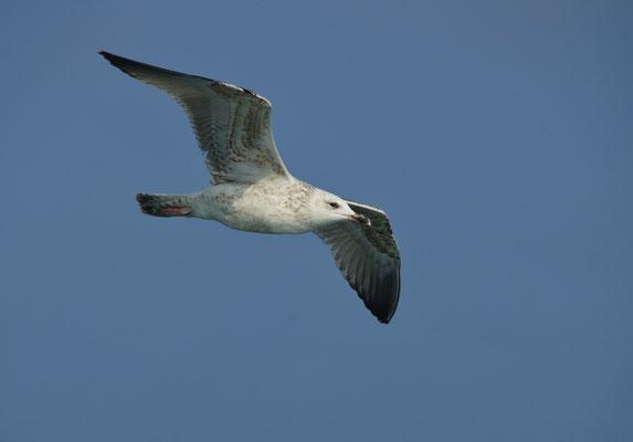 Grote mantelmeeuw (Larus marinus) - Great black-backed gull - Noordzee