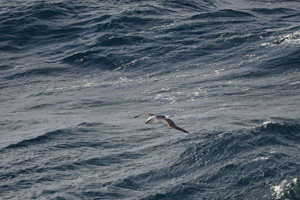 Grijskopalbatros - Grey-headed albatross - Thalassarche chrysostoma