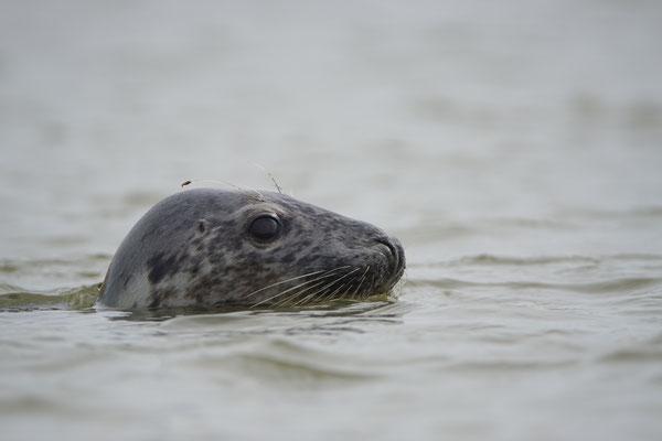 Grijze zeehond - Grey seal (Halichoerus grypus)